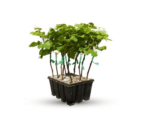 Plantas-en-bandeja-vivero