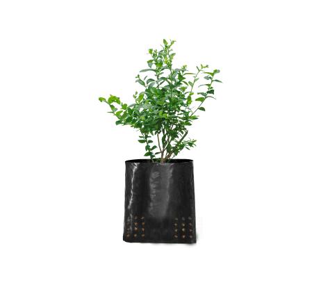 planta-de-arandano-vinedos