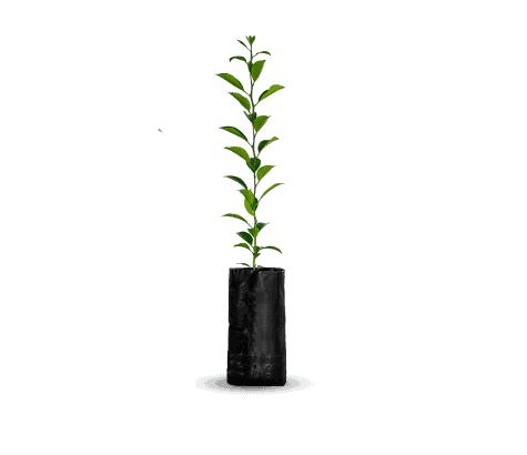 planta-de-citrico-vinedos