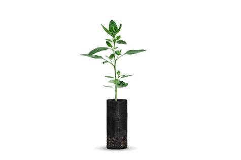 planta-de-kiwi