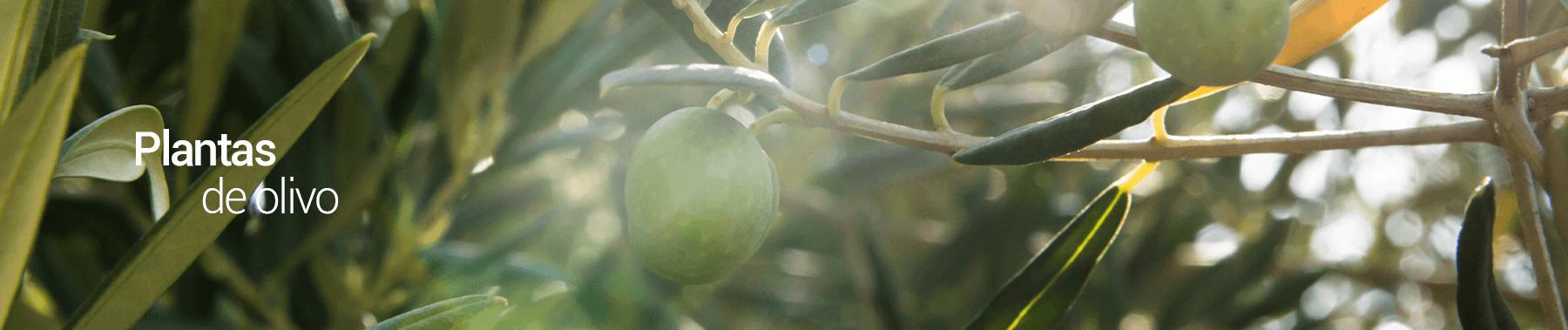 OLIVO-los-vinedos-PERU-2