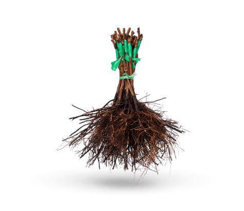 Plantas-raiz-desnuda-viveros
