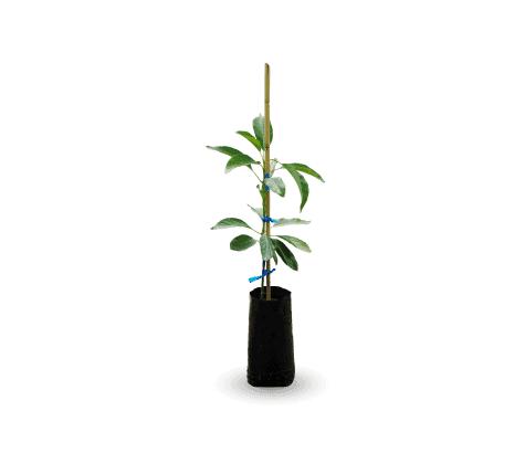Plantones-propagados-con-portainjerto-clonal