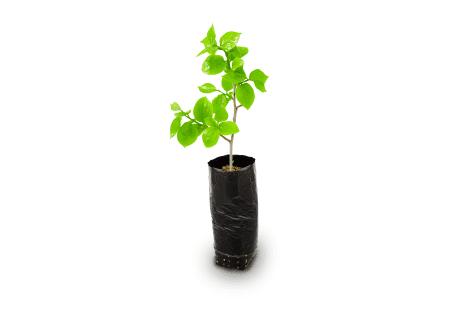 planta-caqui-los-vinedos