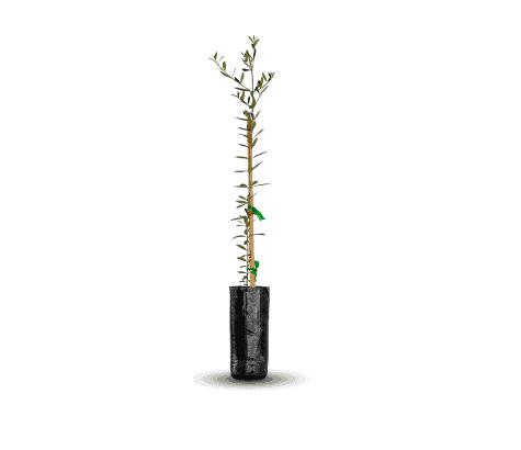 planta-olivo-vinedos