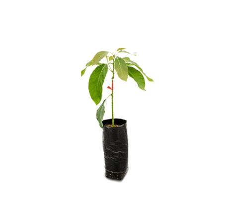 planta-de-semilla-botanica-vlv